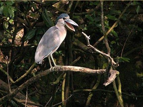 Boat_billed_Heron_2.jpg
