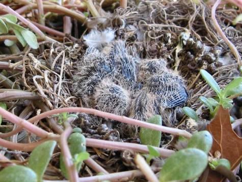 Inca Dove Babies