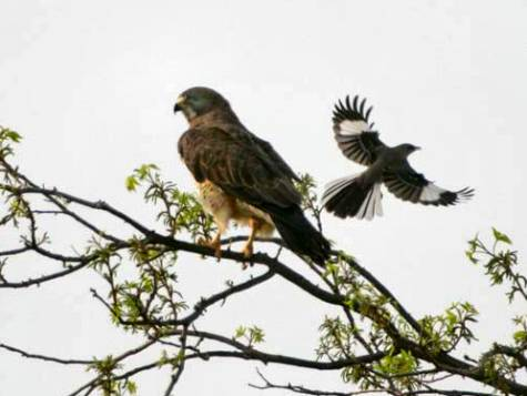 Swainson__s_Hawk_Mockingbird_2_JAE_2189.jpg
