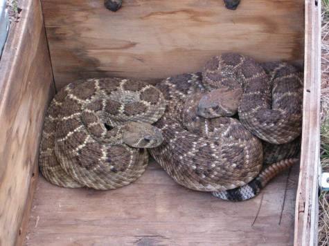 rattlesnakes-in-box