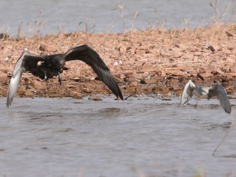 Jaeger_chasing_Yellowlegs_IMG_5274