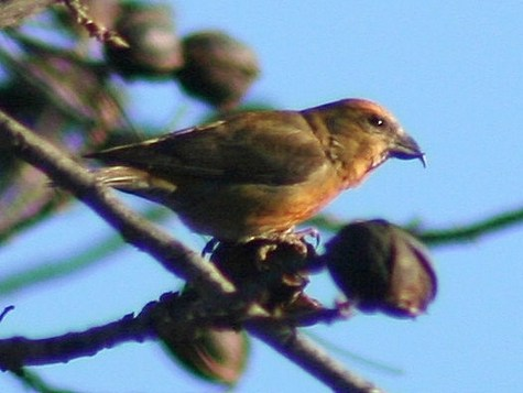 Red_Crossbill_LDB.jpg