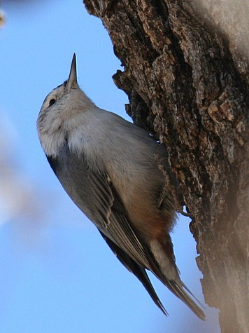 white-breasted-nuthatch-ldb_cr